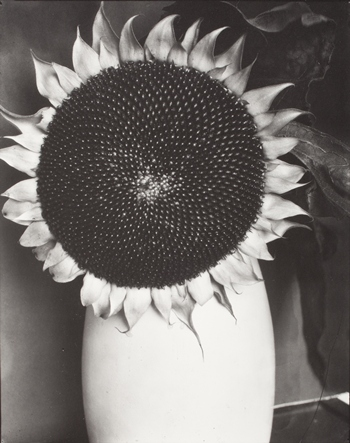 "Edward Steichen, Sunflower in a White Vase, Part of Series ""Sunflowers from Seed to Seed,"" 1920–1961, gift of Richard and Jackie Hollander, © permission the Estate of Edward Steichen"