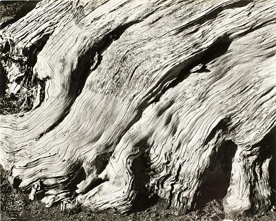 [Image 7] Edward Weston, No. 11 Cypress—Point Lobos (The Flame), 1929, Gelatin silver print, Los Angeles County Museum of Art, the Marjorie and Leonard Vernon Collection. Gift of The Annenberg Foundation, acquired from Carol Vernon and Robert Turbin © 2013 Arizona Board of Regents, photo © 2013 Museum Associates/LACMA
