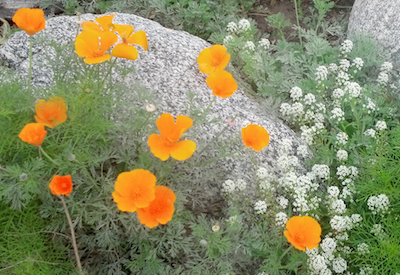 The California poppy, Image courtesy of the author